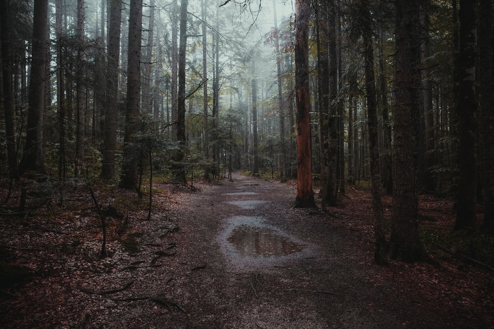 pathway between trees in forest