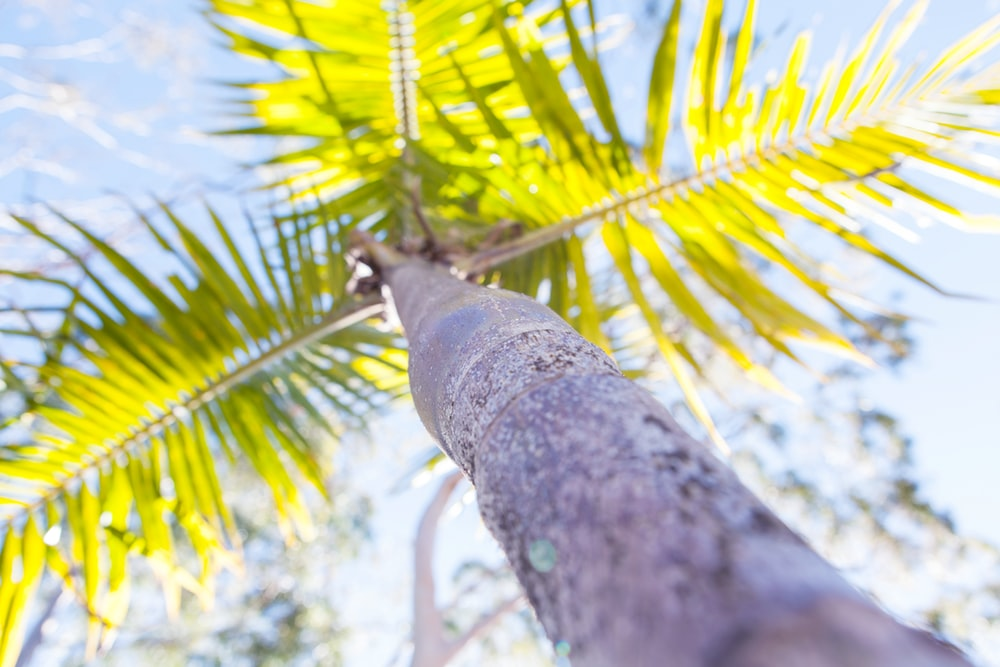 worm's eye view photography of coconut tree