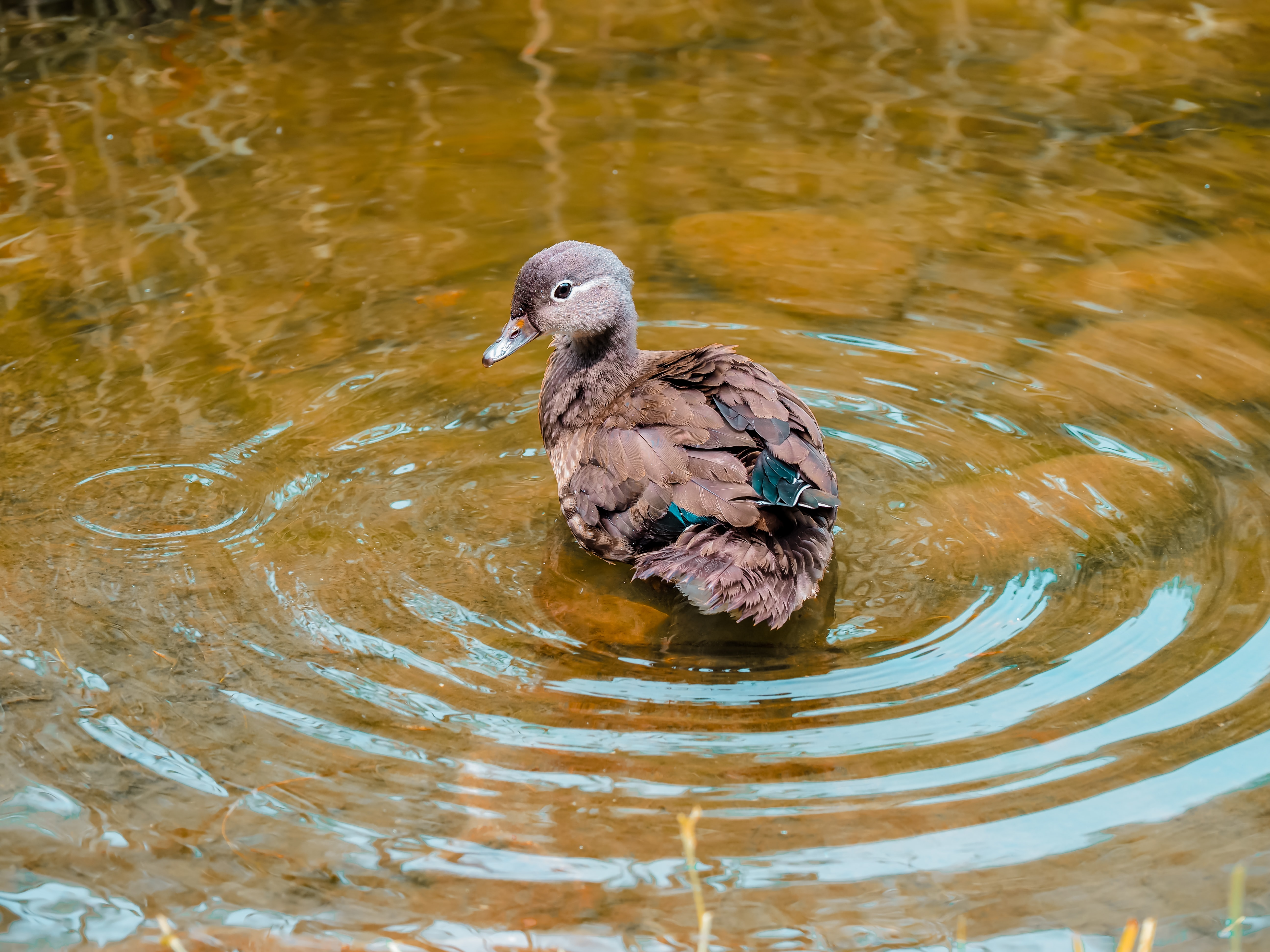 brown duck on body of water at daytime