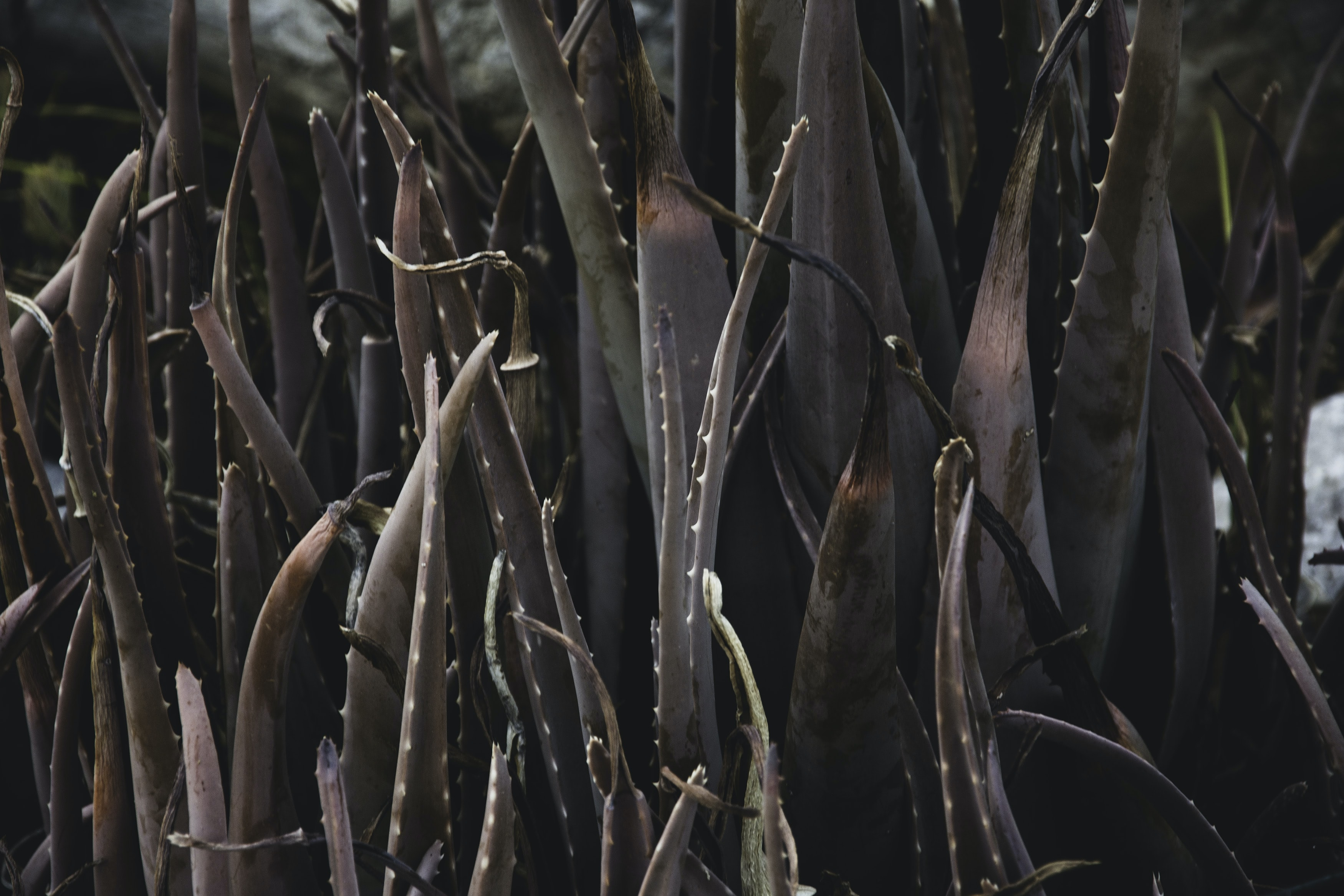 brown leaf plants with spikes on sides