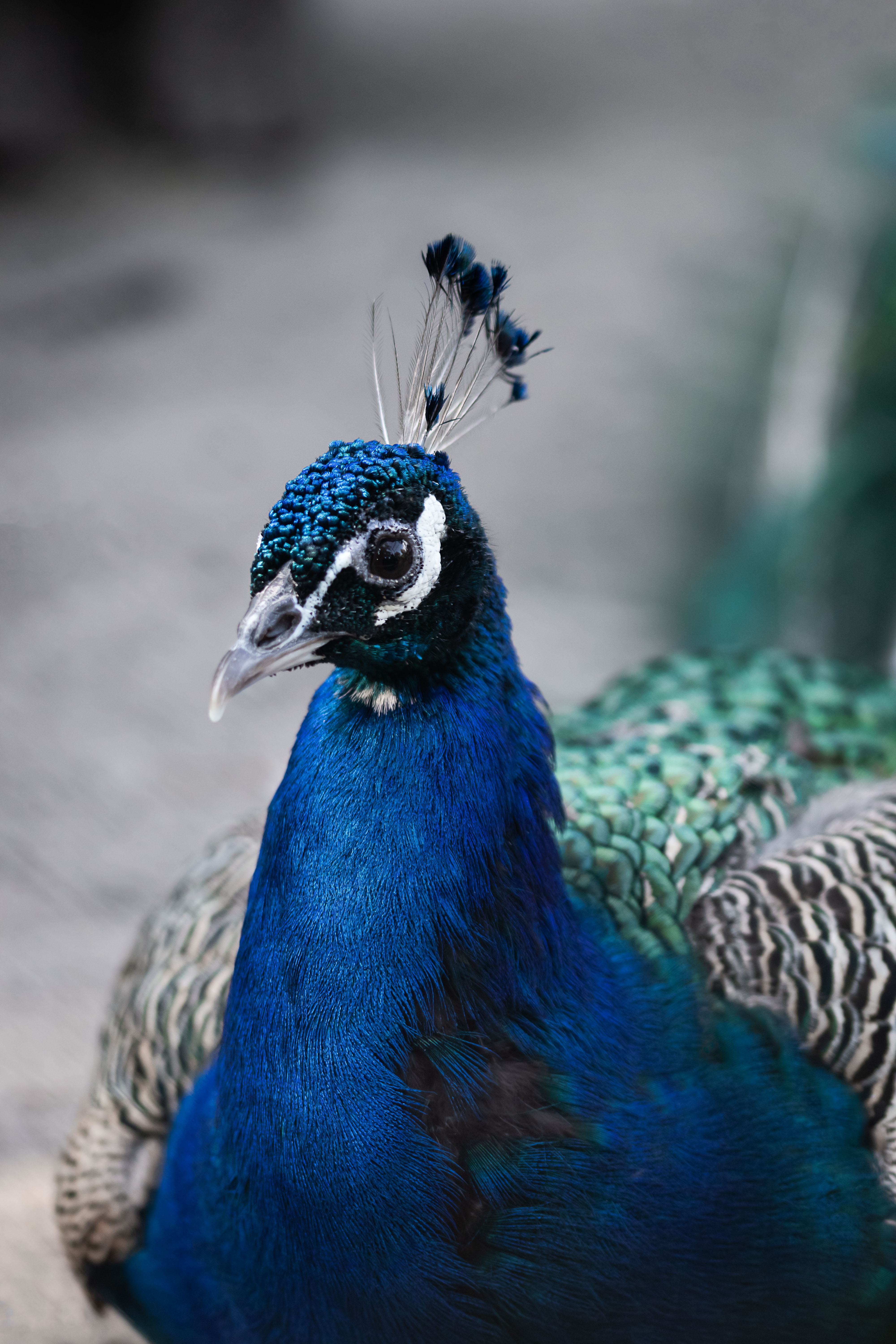 blue, green, and black peacock