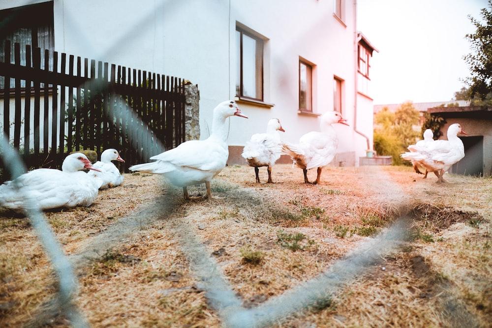 group of white ducks walks on dried grass