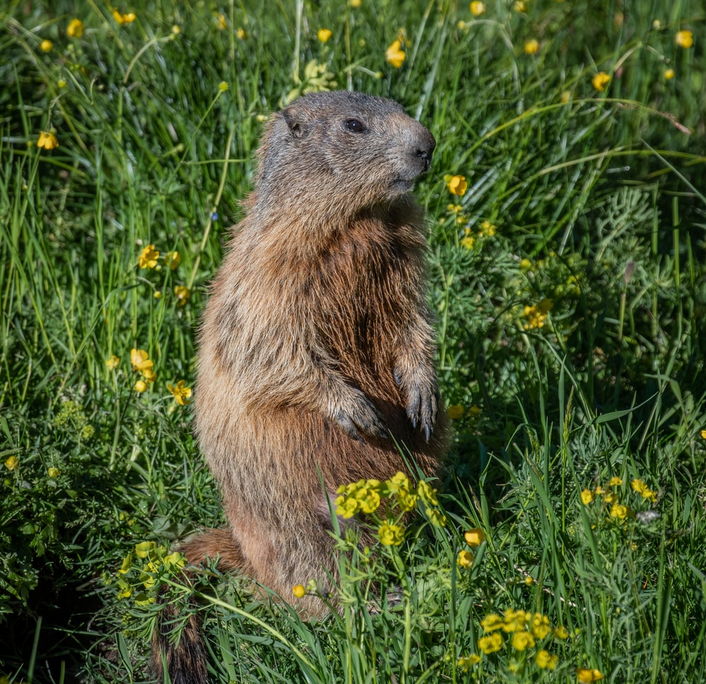 prairie dog standing on grass field