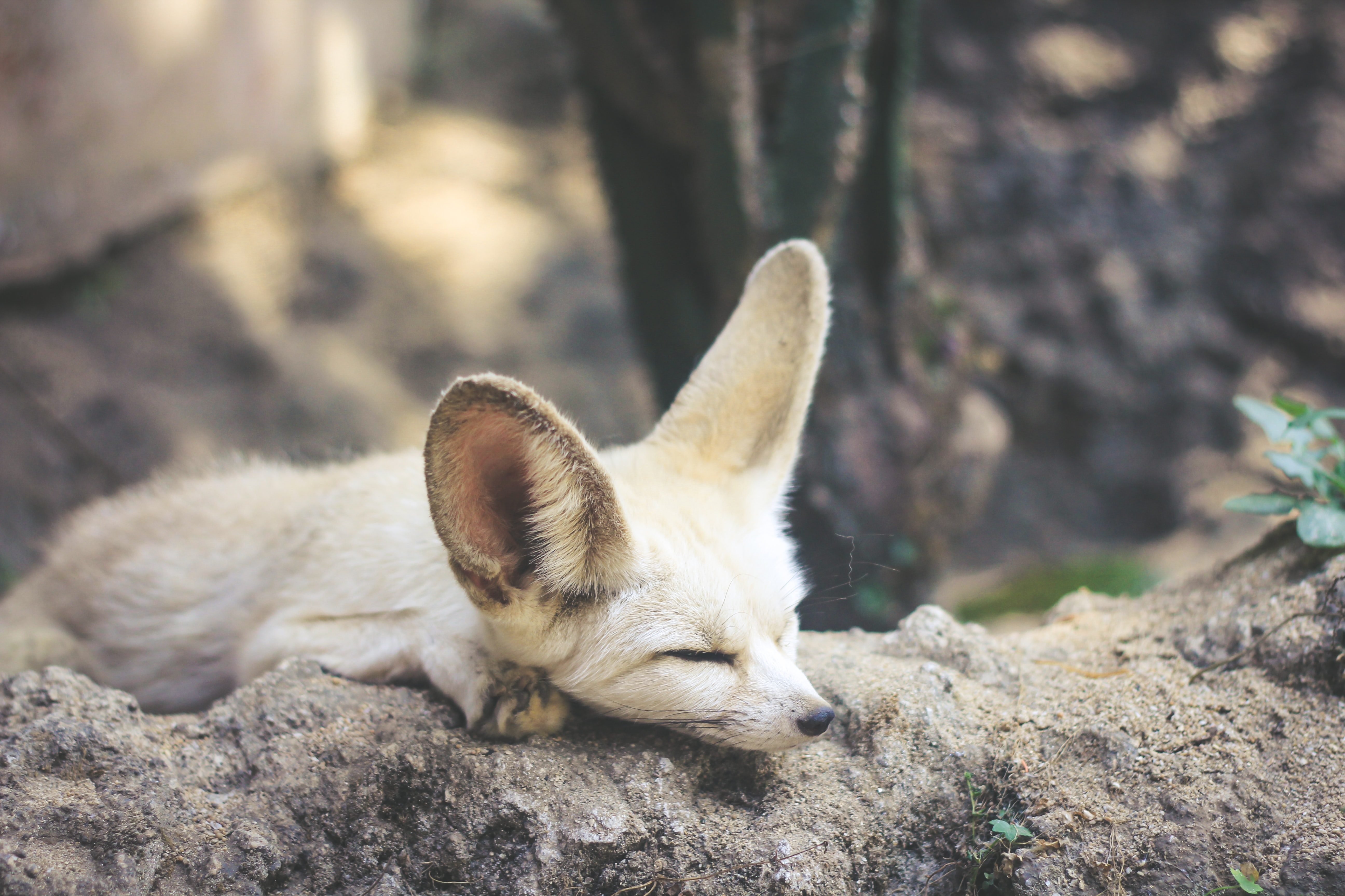 white and brown fennec fox lying on ground