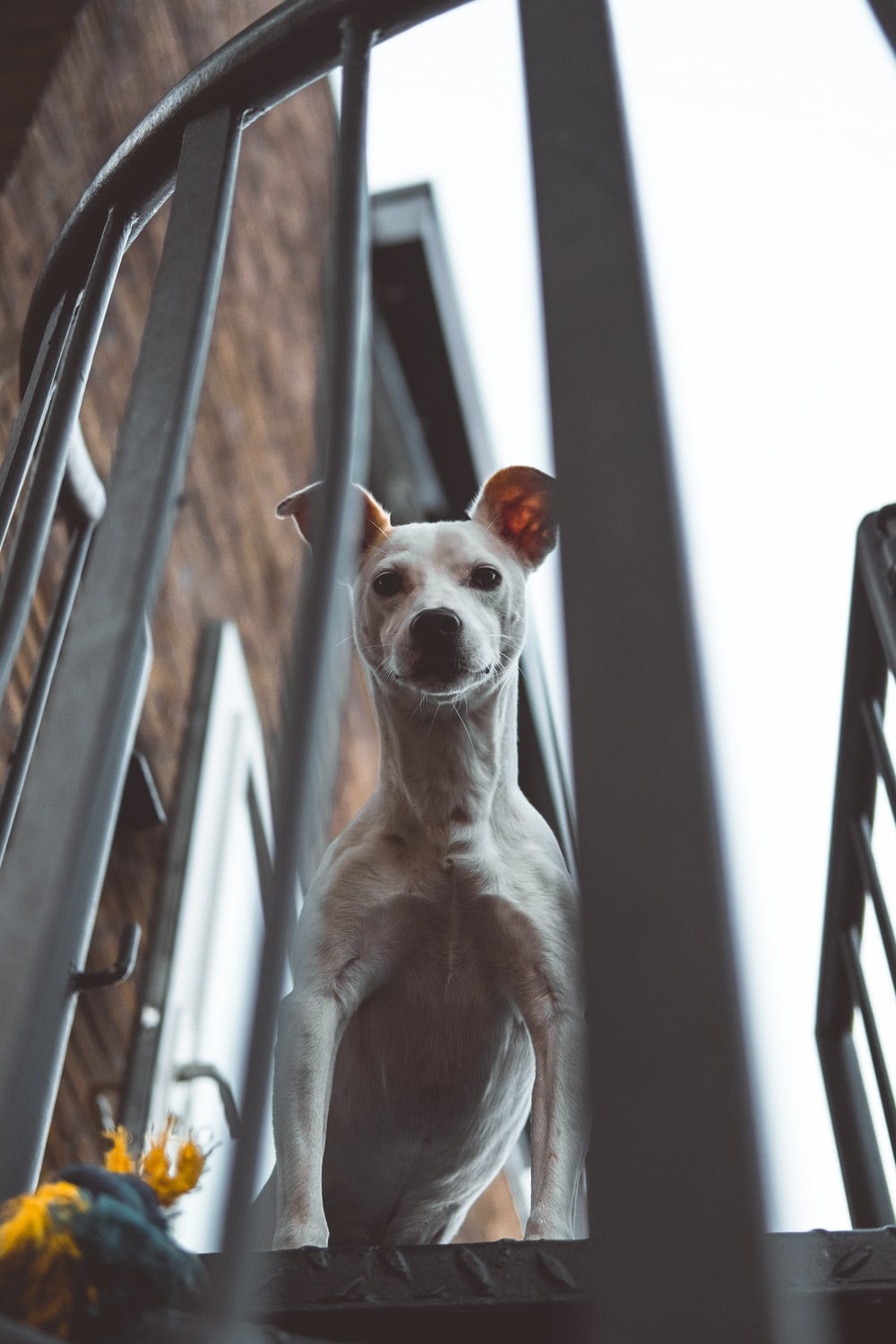 adult white Jack Russel Terrier peeking above stairs