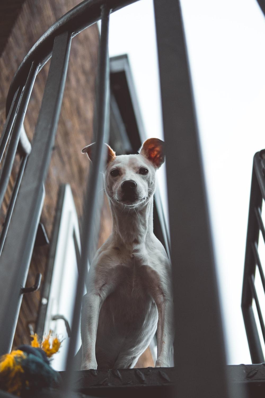 adult white Jack Russel Terrier peeking above stairs