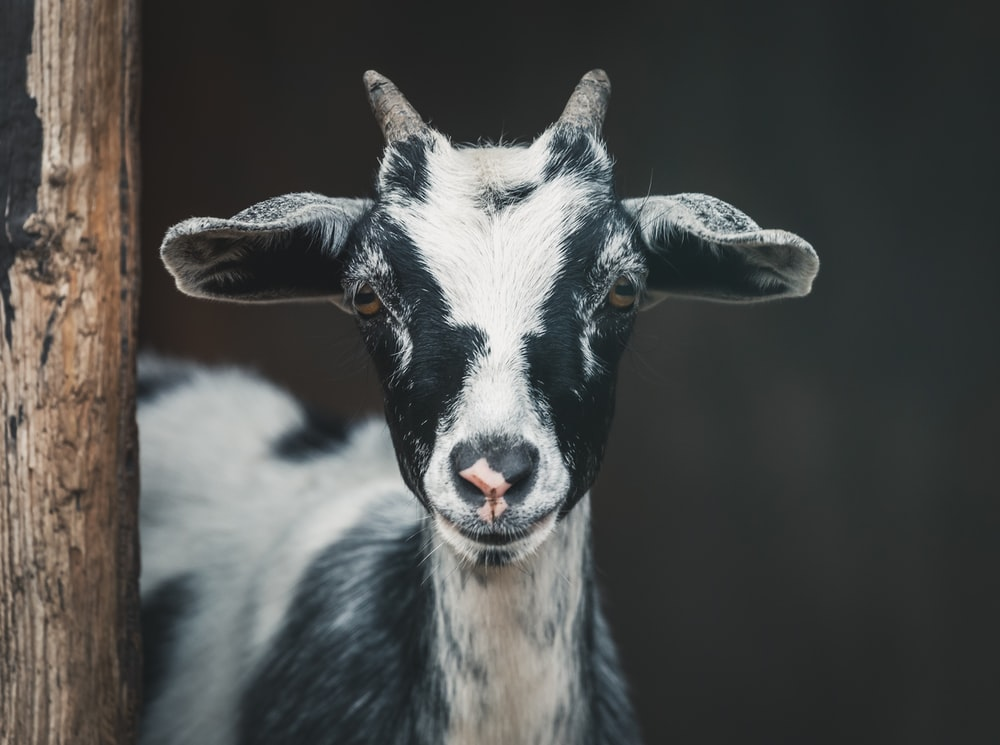 shallow focus photography of white and black goat