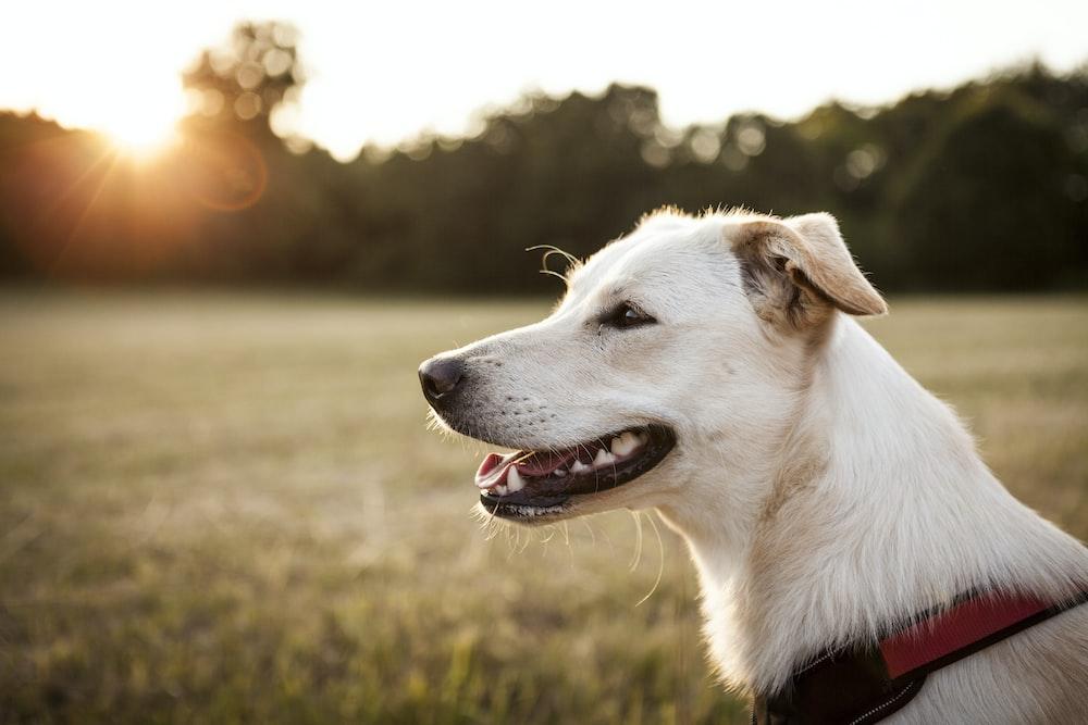 shallow focus photography of adult yellow Labrador retriever