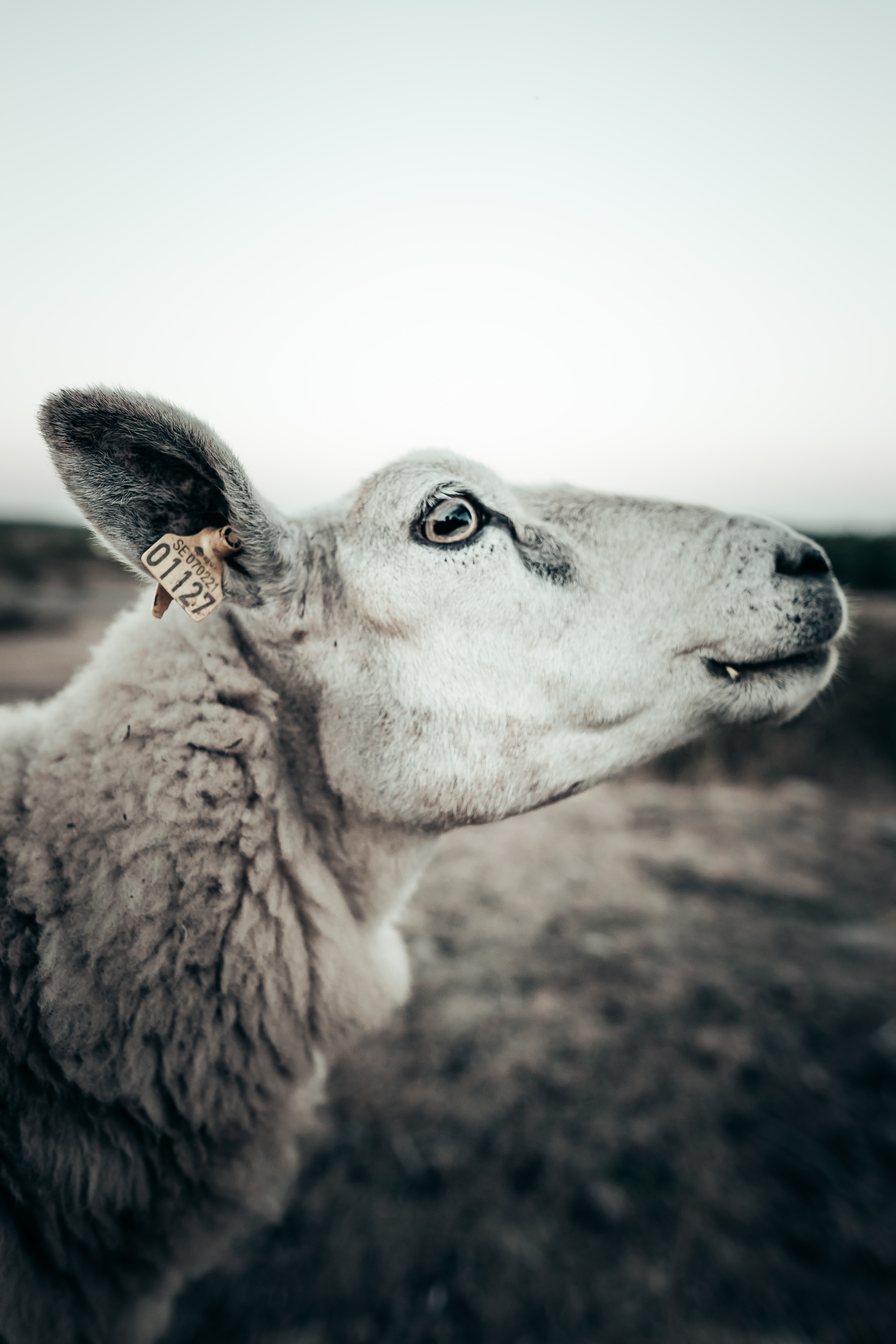 selective focus photography of white sheep
