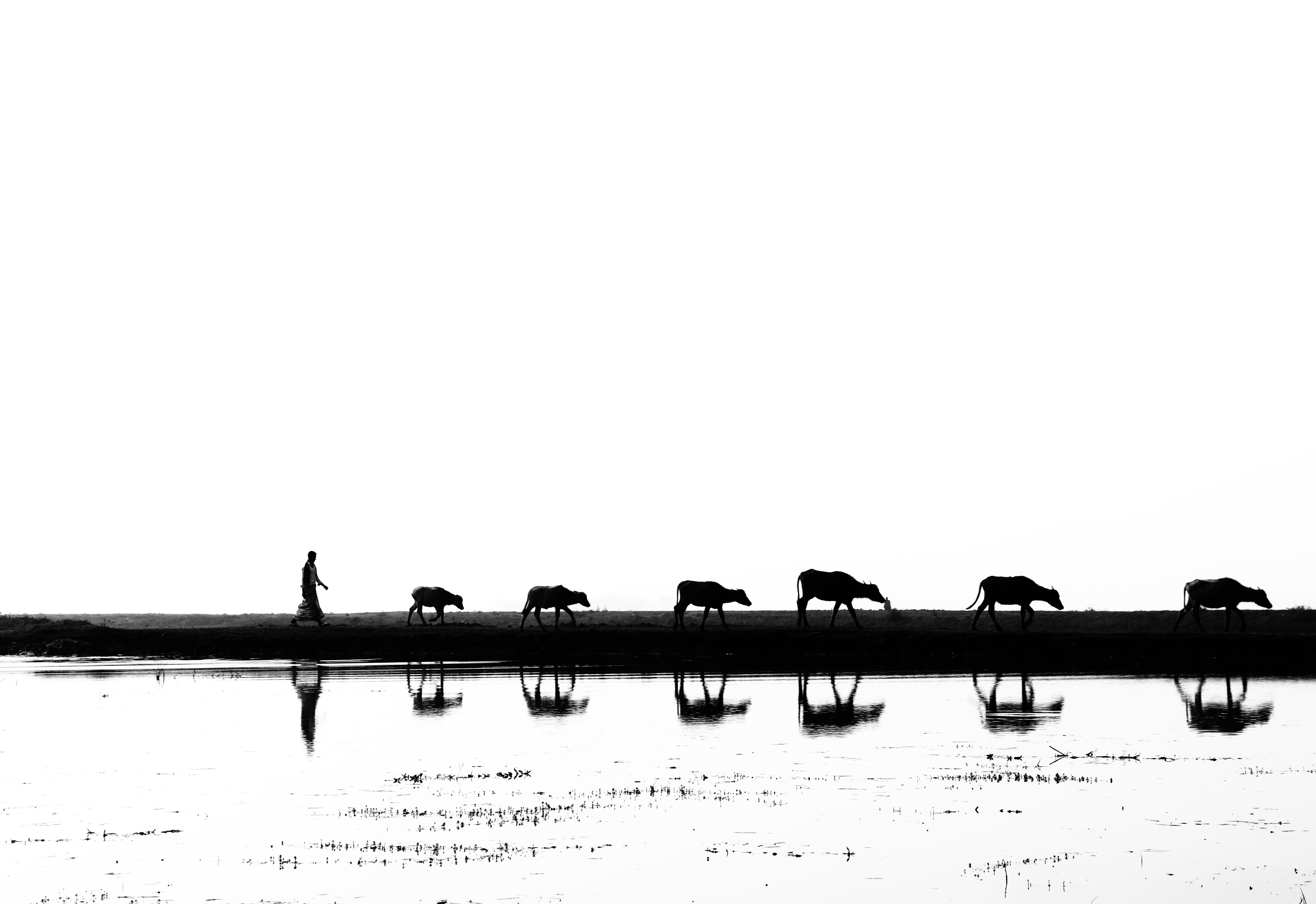 silhouette of man with animals walking near body of water during daytime