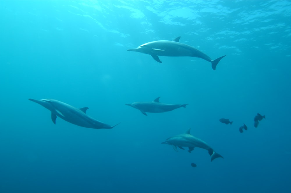 school of grey dolphins underwater