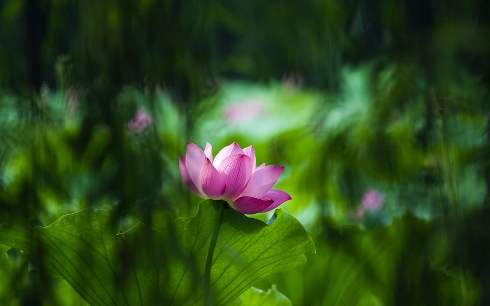 100 lotus flower pictures download free images on unsplash mightylinksfo