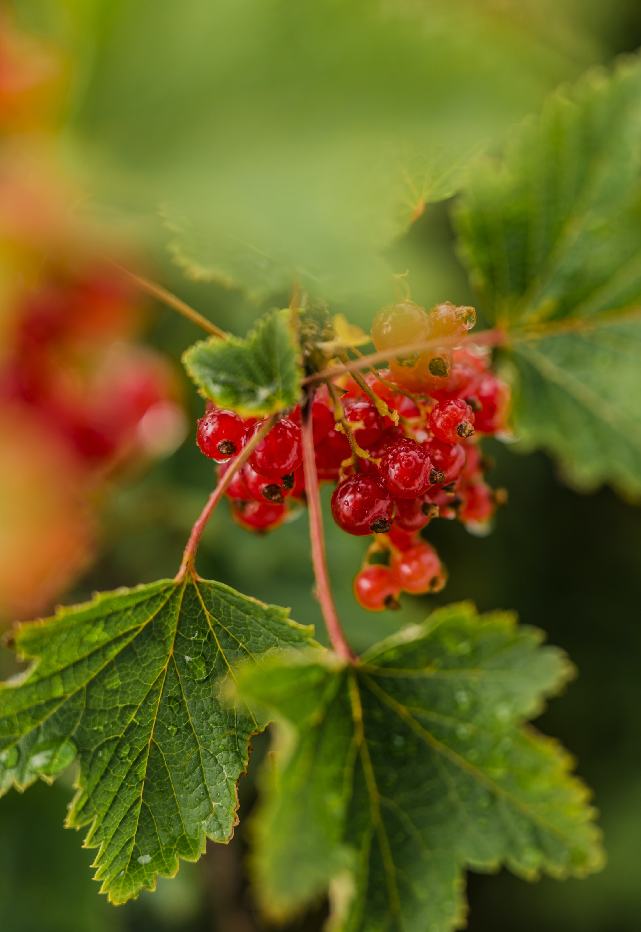 shallow focus photography of round red fruits
