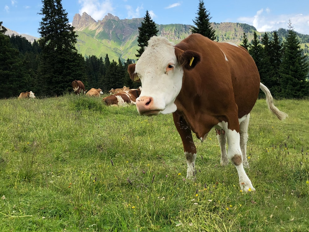 closeup photo of white and brown cow