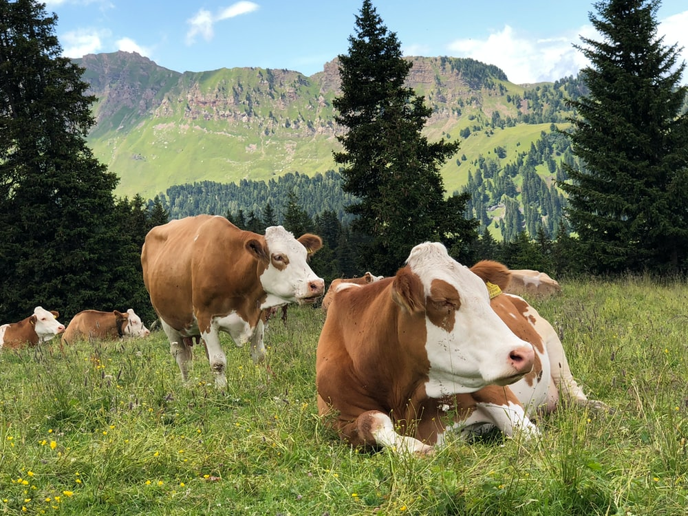 herd of cattle on grass field during daytime