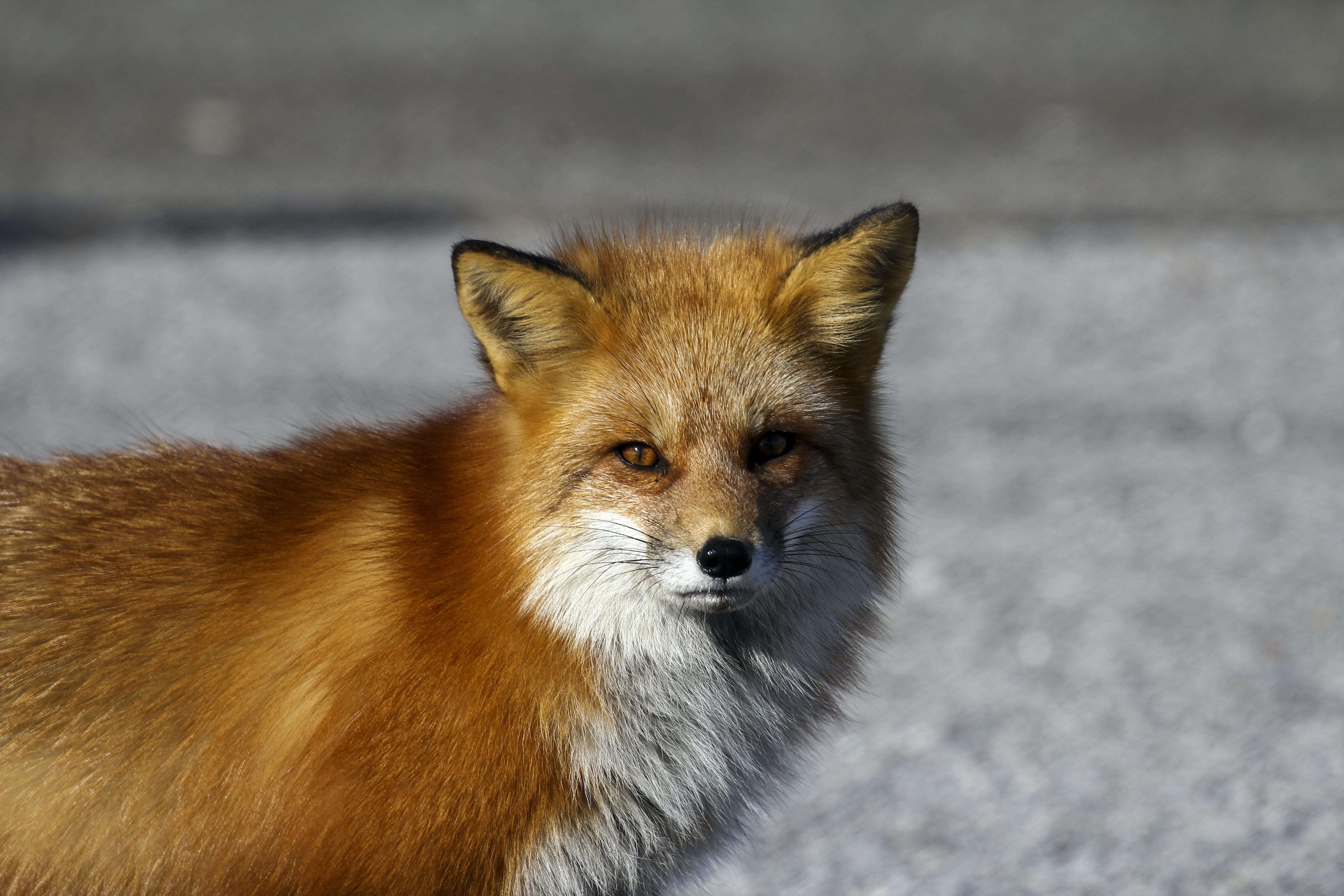 red fox standing on floor