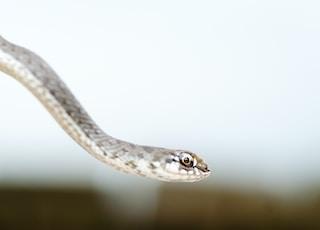 beige snake