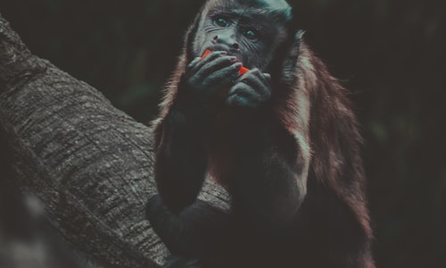 macaque monkeys facts