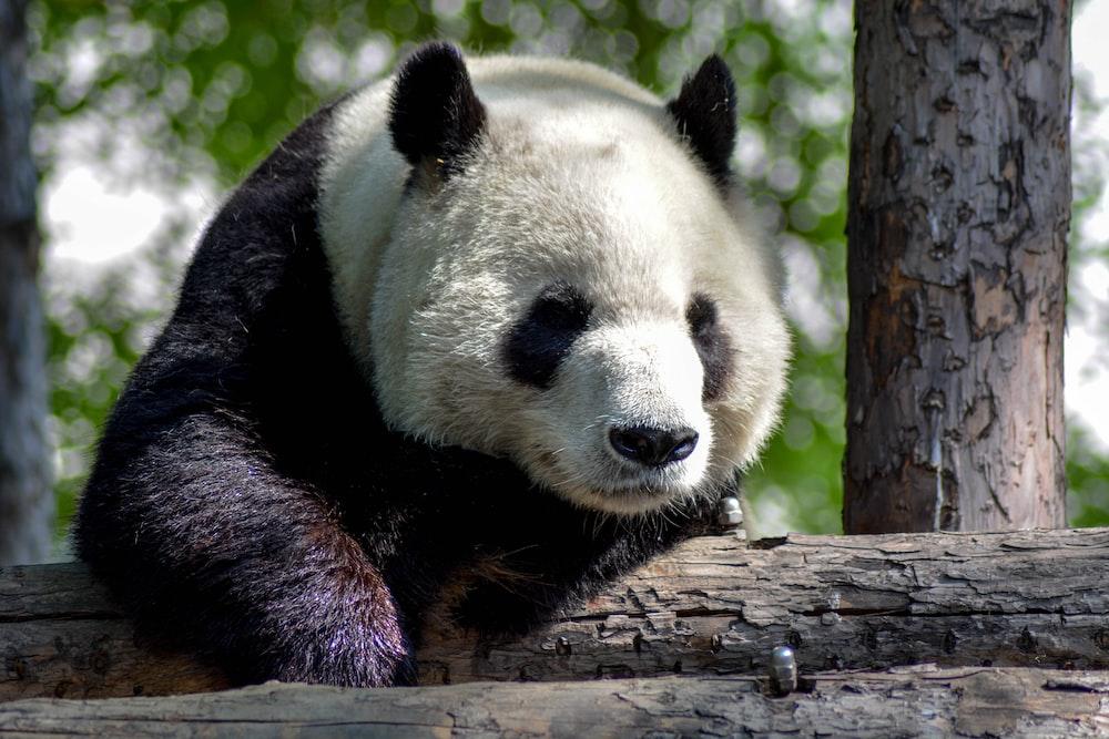 wildlife photography of black and white panda