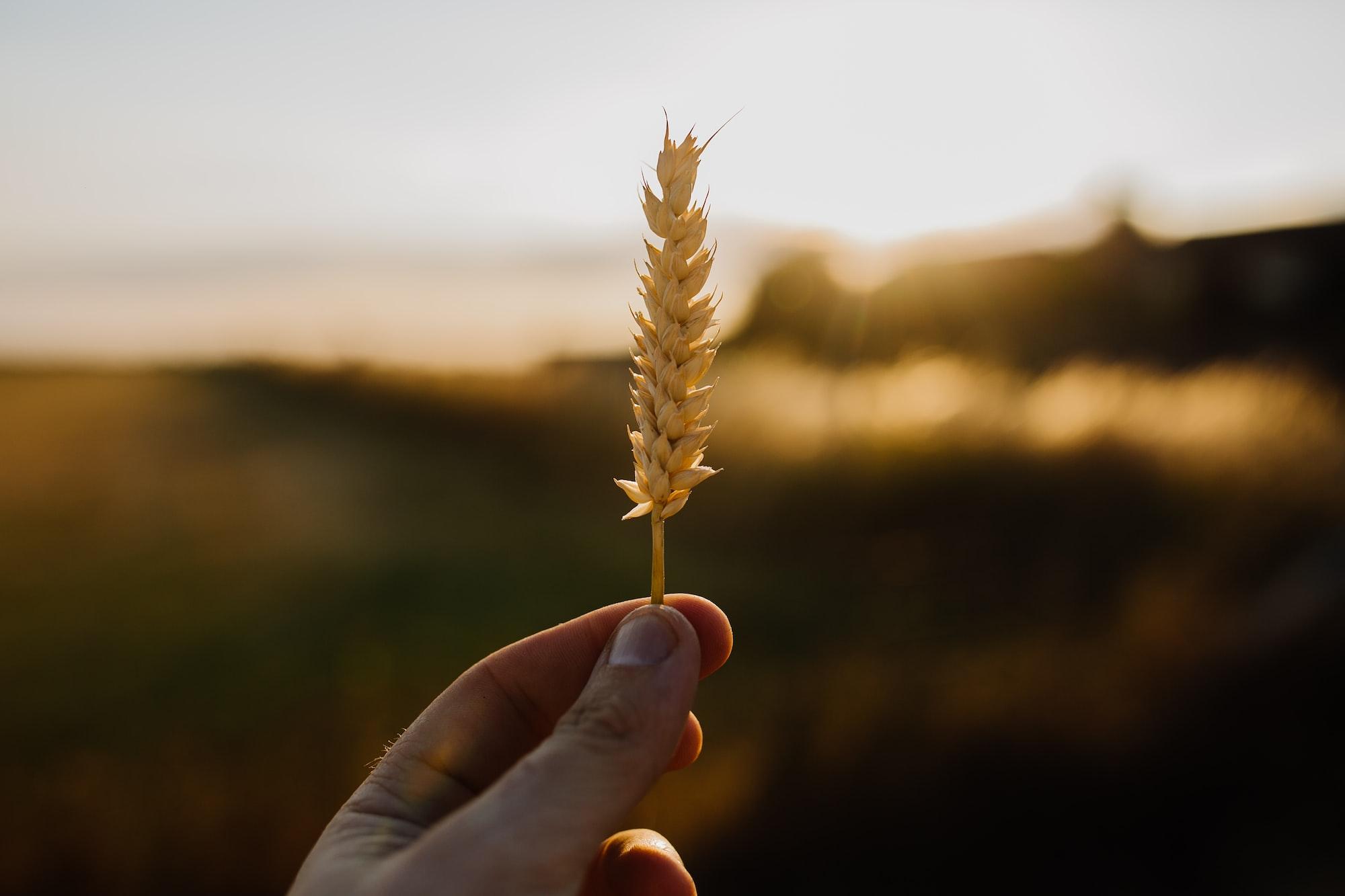 Warum vertragen so viele Menschen kein Gluten mehr und was hat das mit den alten Getreidesorten zu tun?