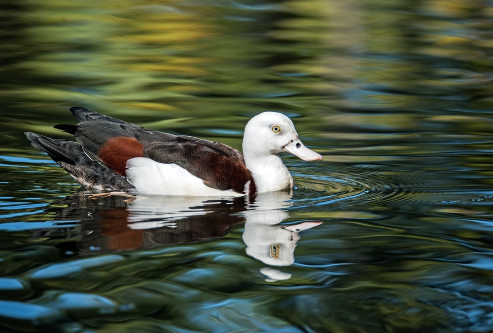 white and brown mallard duck floating on body of water during daytime