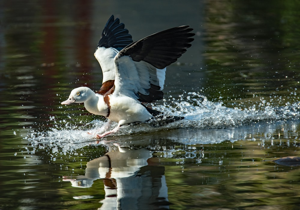 white duck over water
