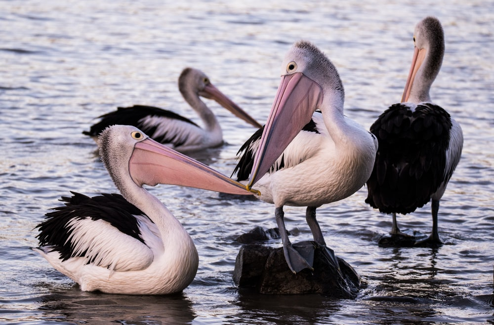 four pelicans in body of water