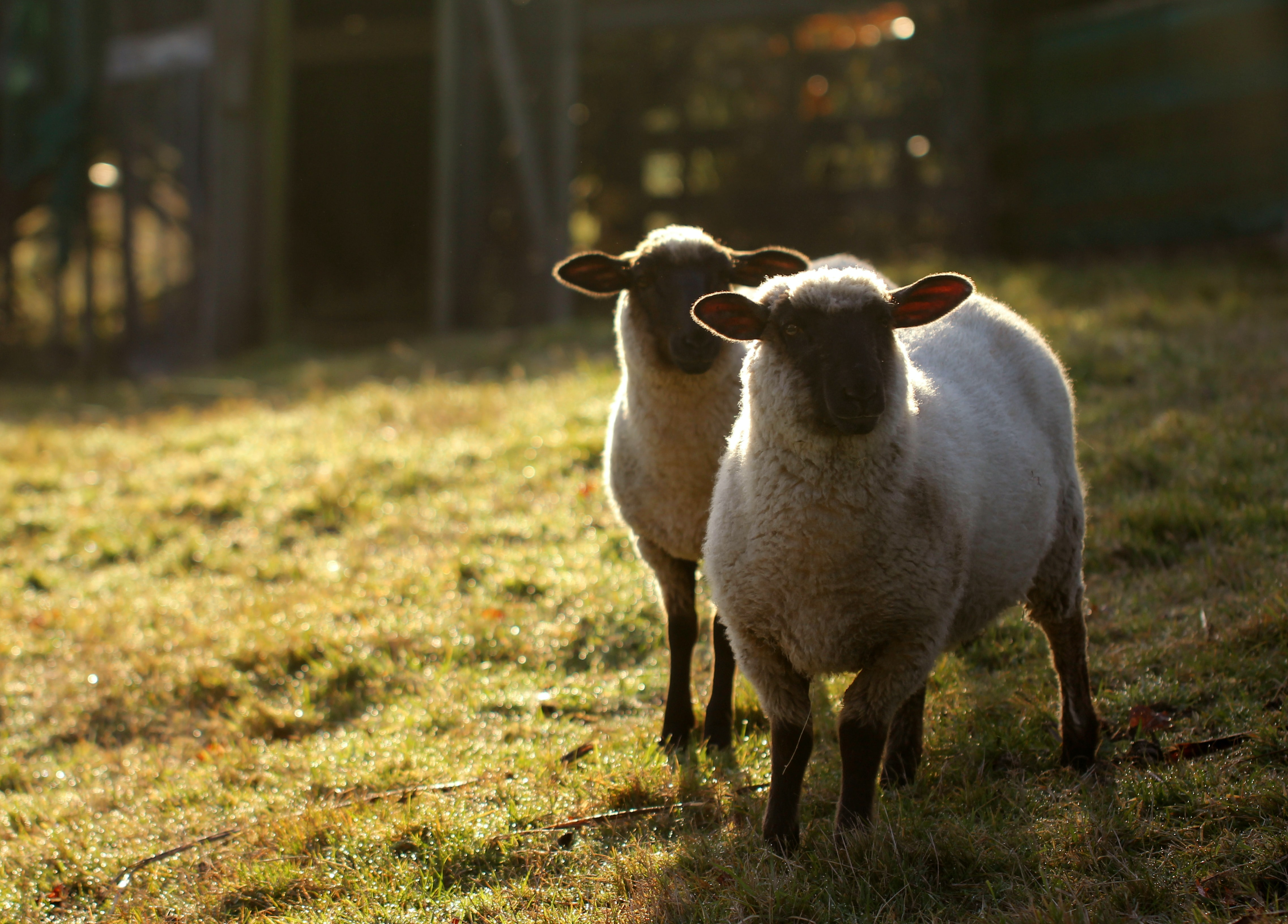 two white sheep in green grass field