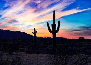 silhouette of cactus at the desert