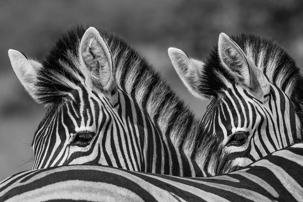grayscale photo of two zebras