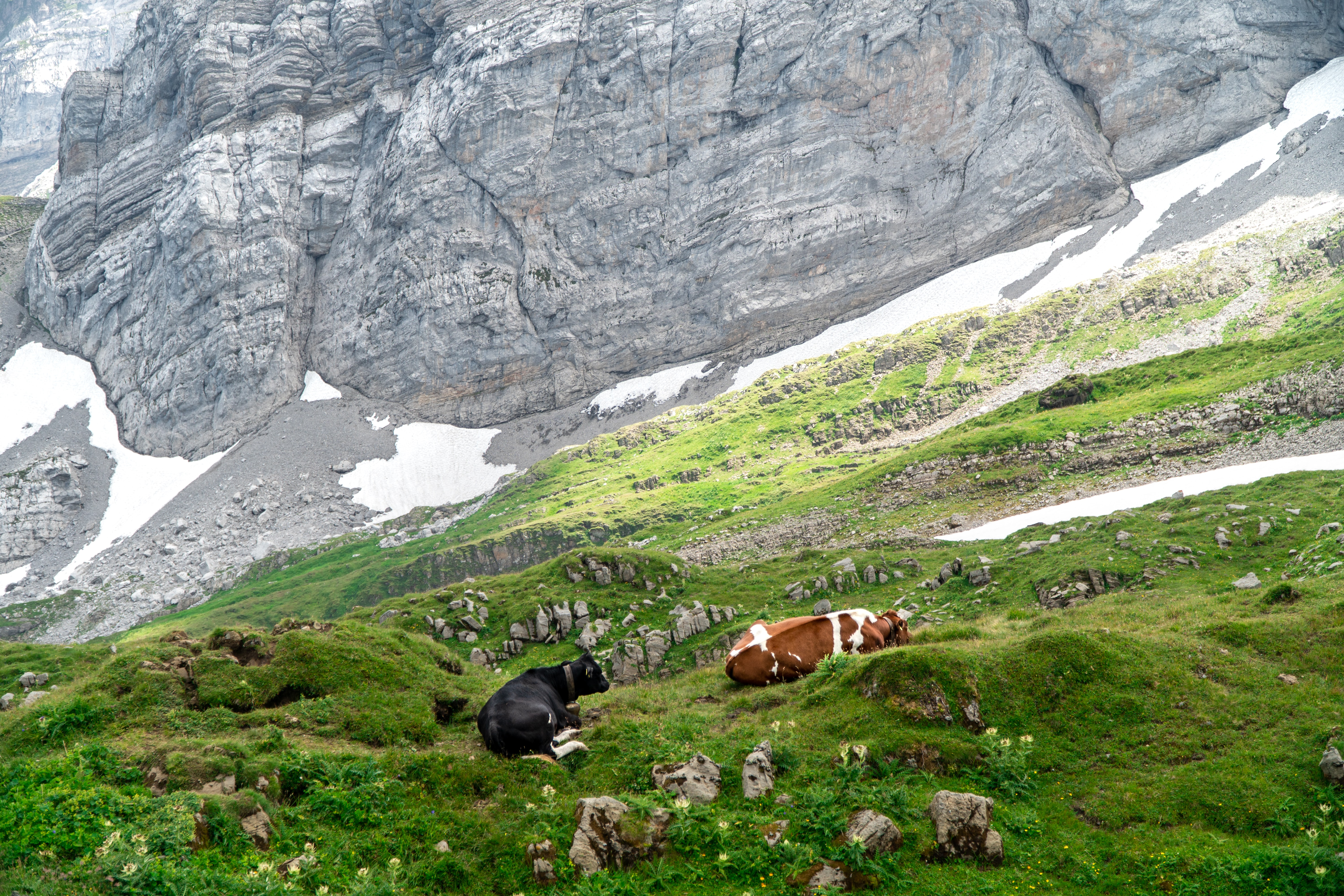 two black and brown cow on grass field