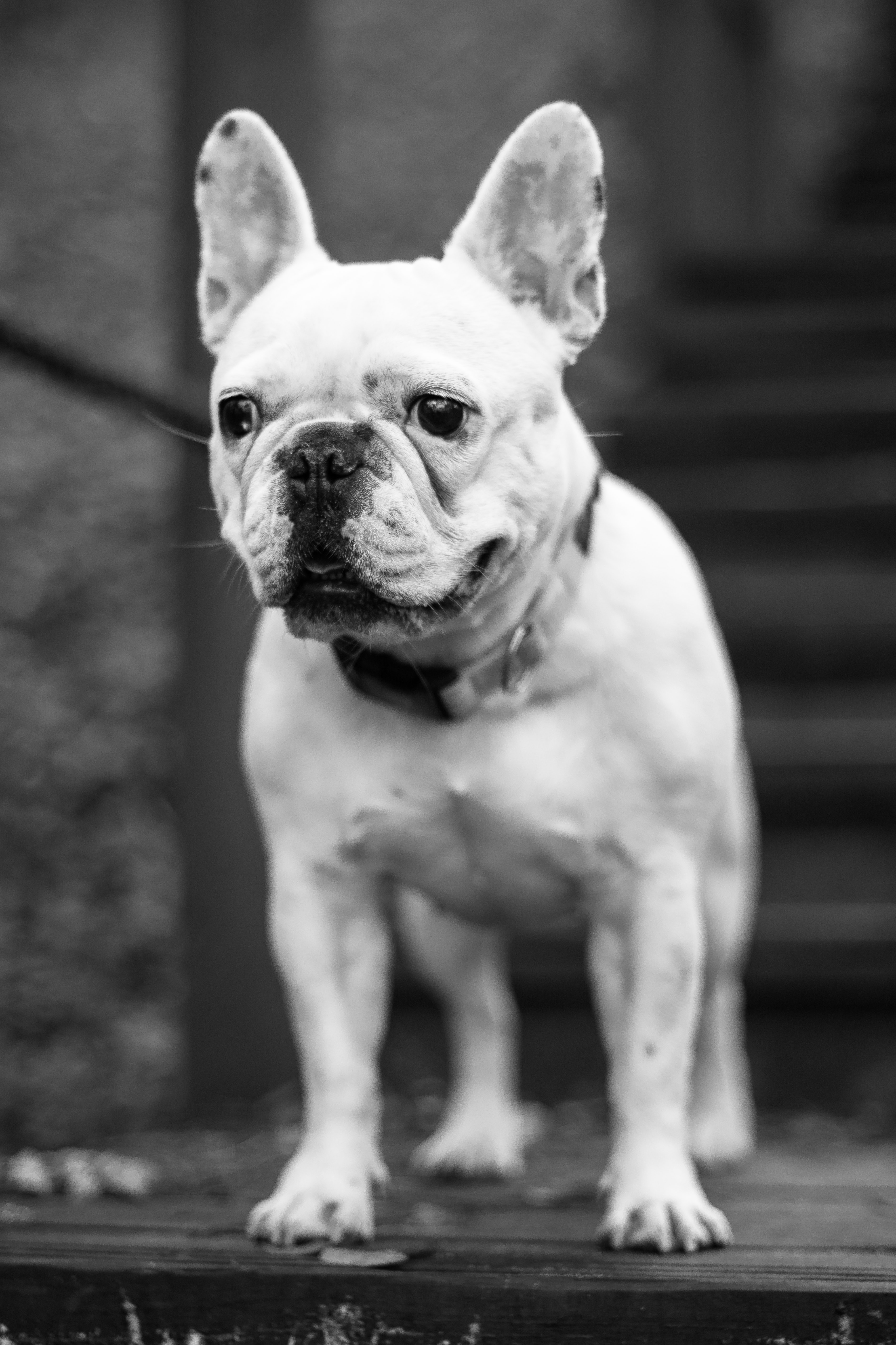 grayscale photography of adult French bulldog looking at direction