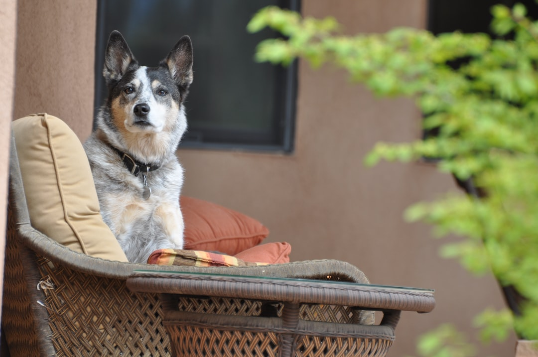 My Australian Cattle Dog, Quigley, sitting up on the couch on the back porch.