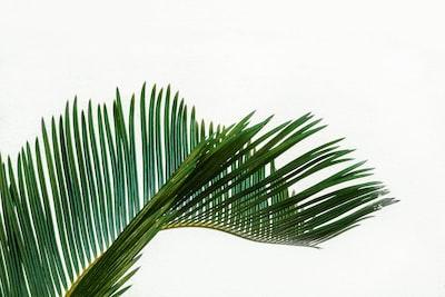 green coconut tree leaf at daytime leaf zoom background
