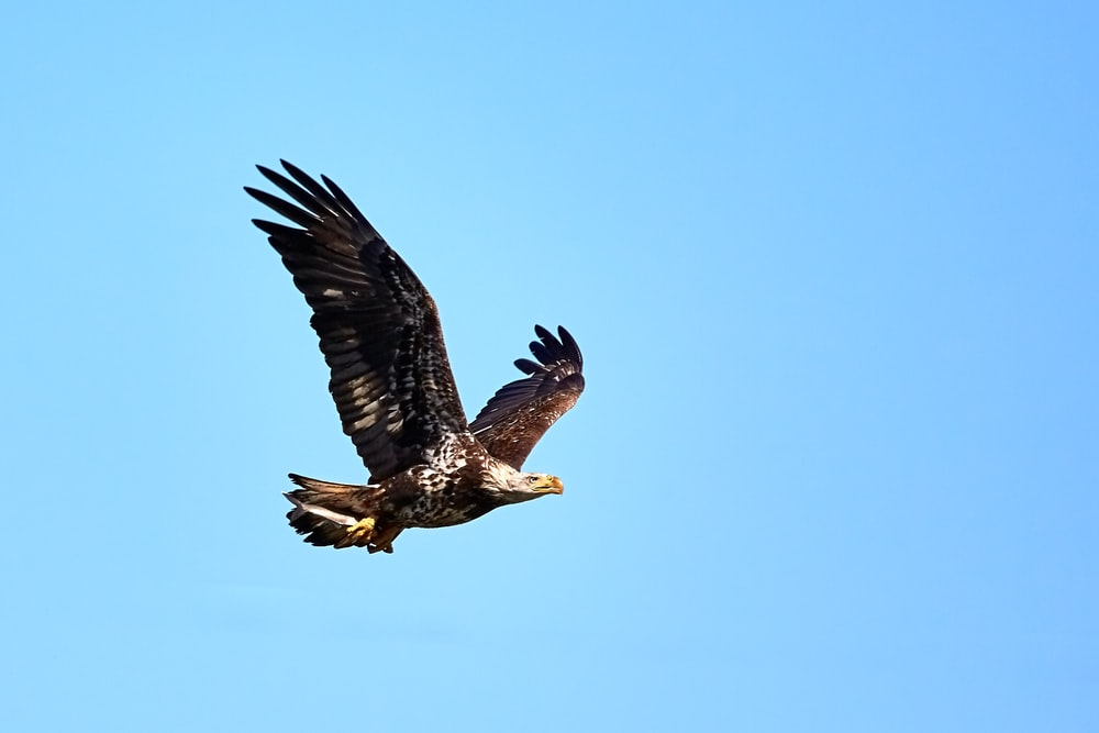 While the bald eagle is usually dark     | HD photo by
