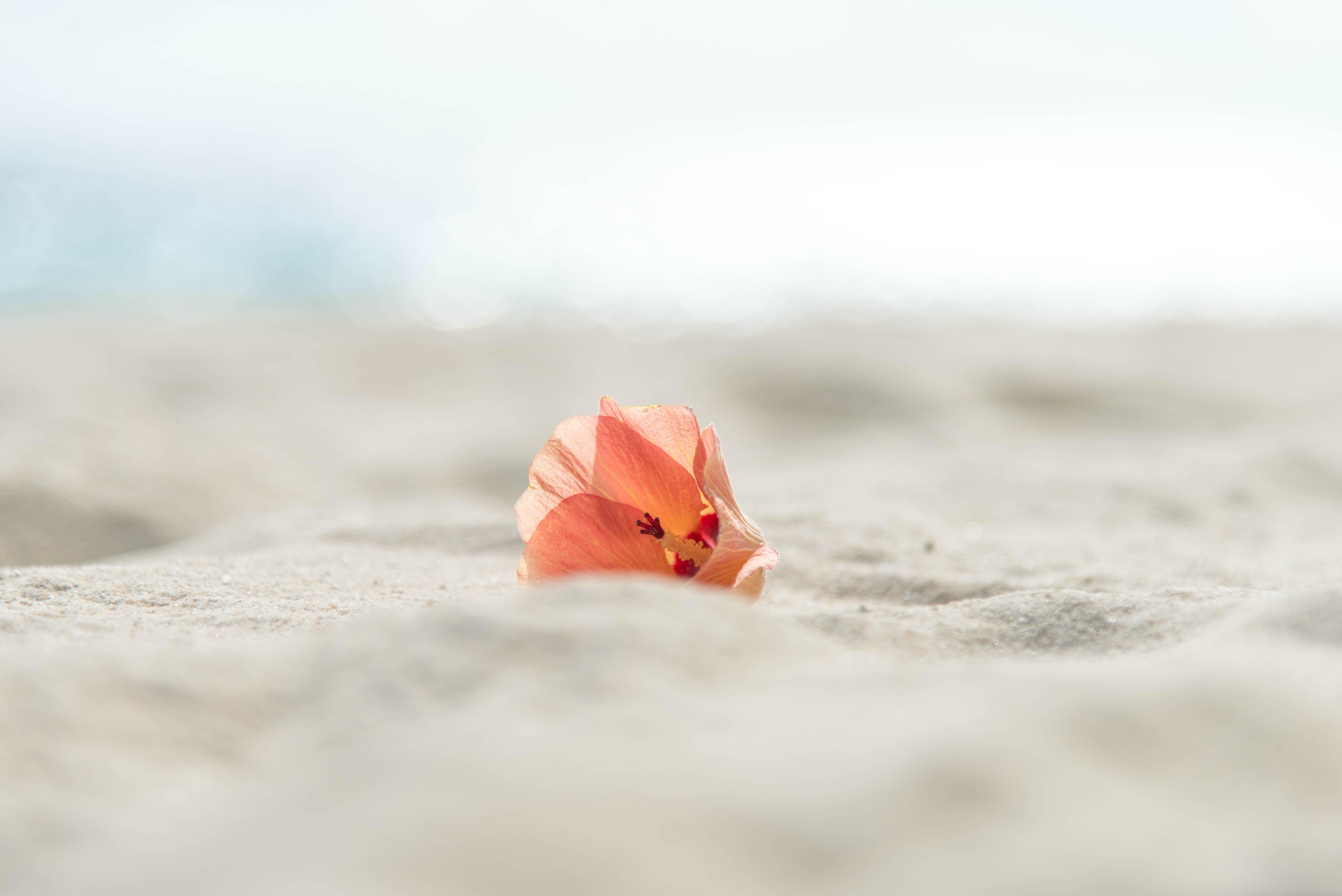 closeup photo of pink bougainvillea flower