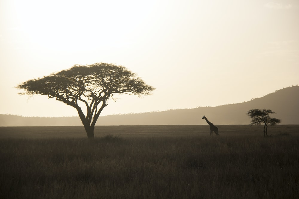 giraffe walking towards green tree
