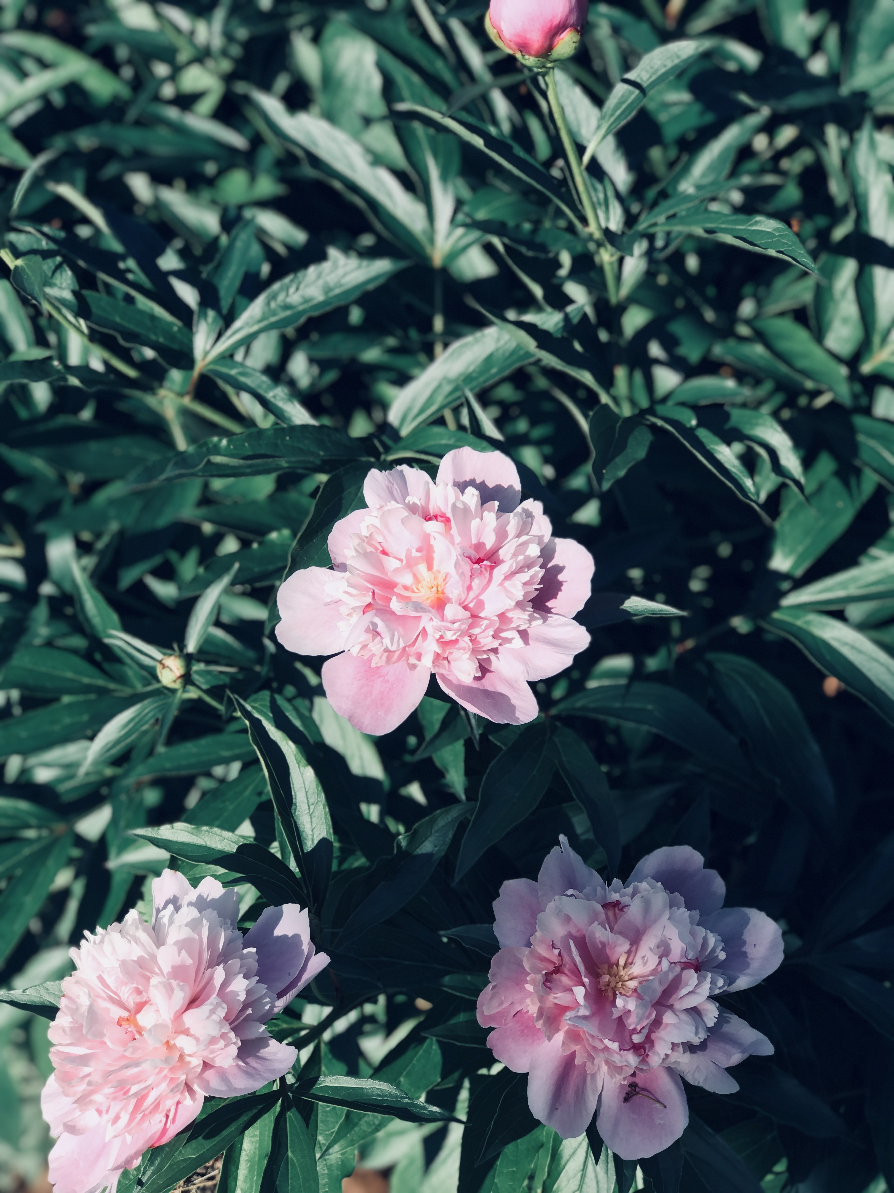 green leafed plant with pink petal flowers