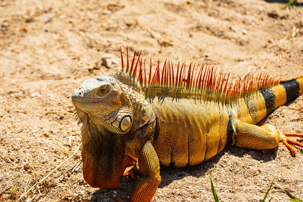 closeup photography of iguana on the sand