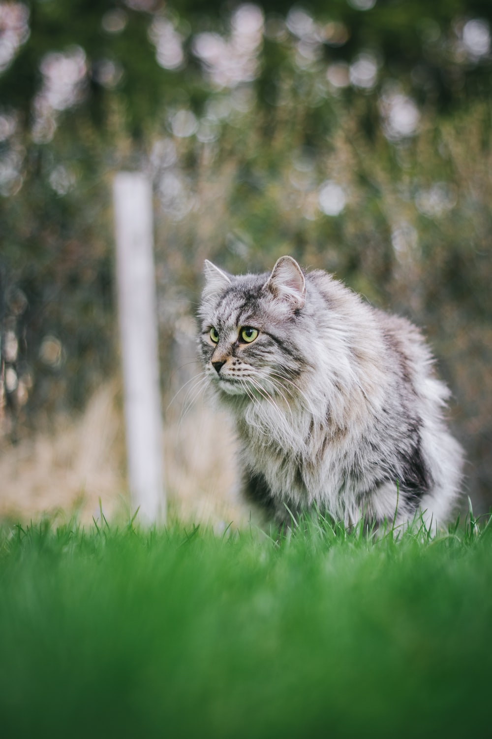 long-haired gray cat on green grass