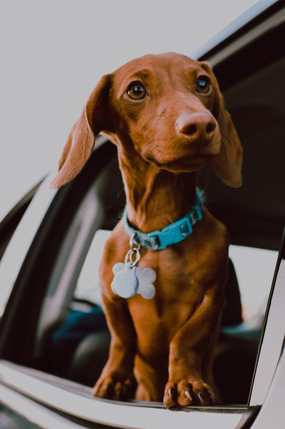 brown dog in window car with a blue collar and tags for identification