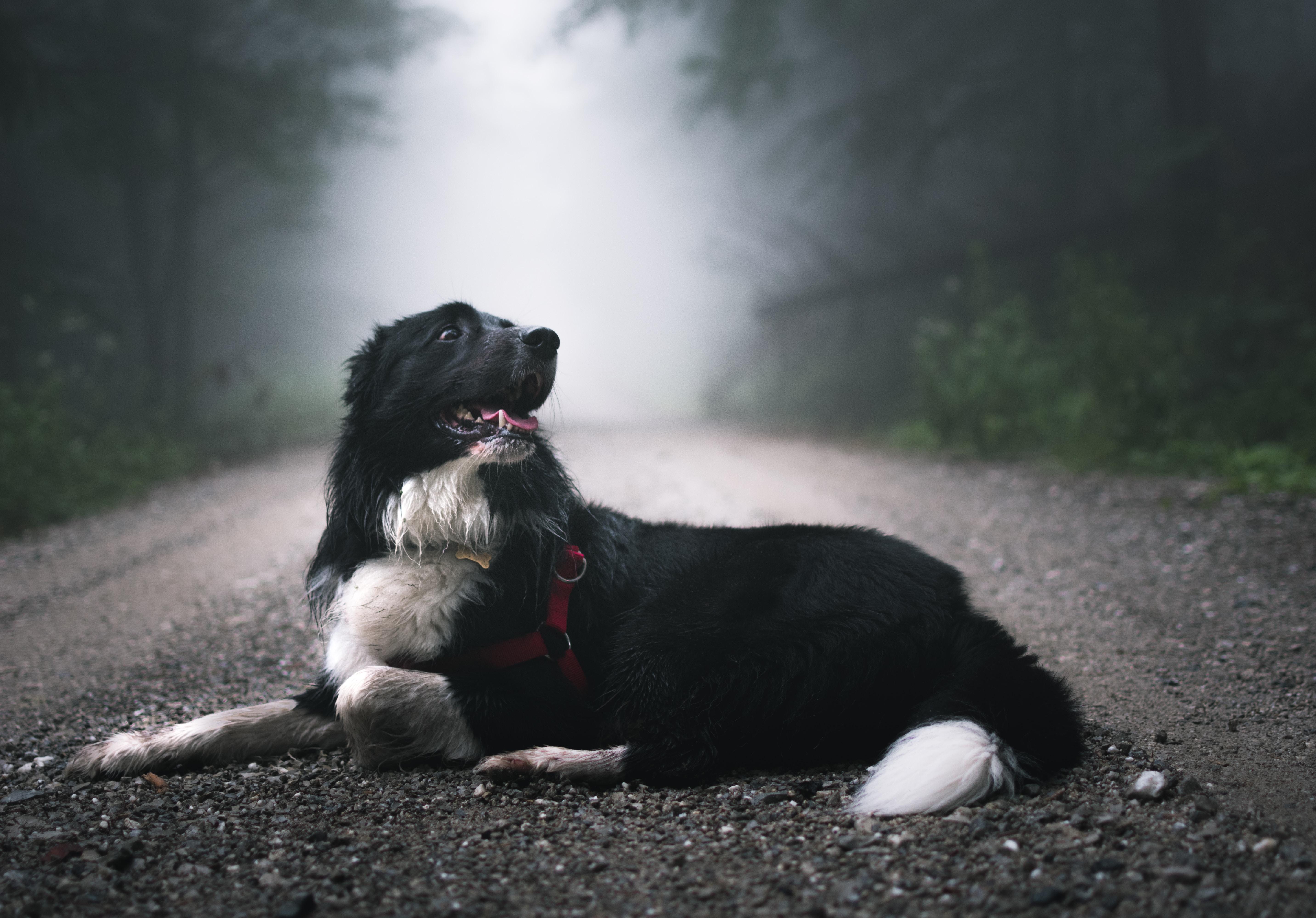 short-coated black and white dog laying on floor