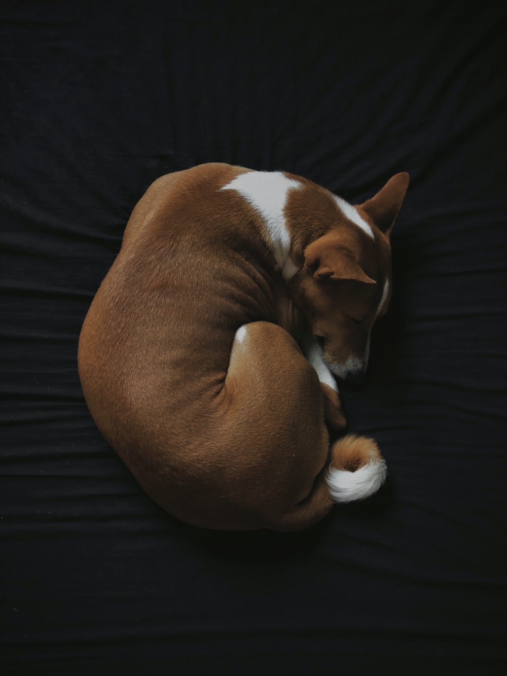 short-coated white and brown dog sleeping on black fabric seat