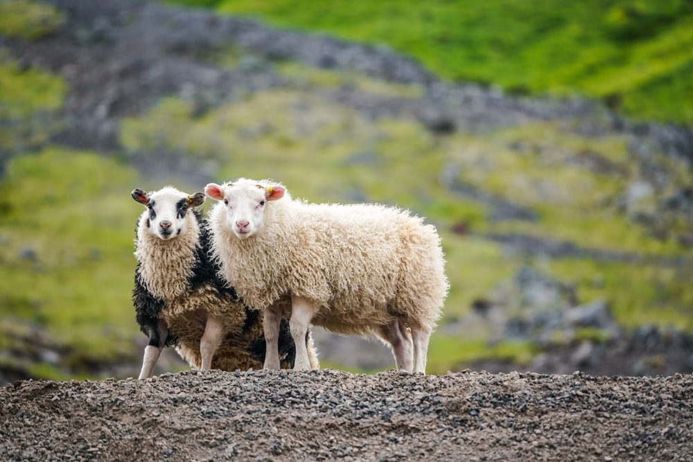 two white sheeps standing on mountain