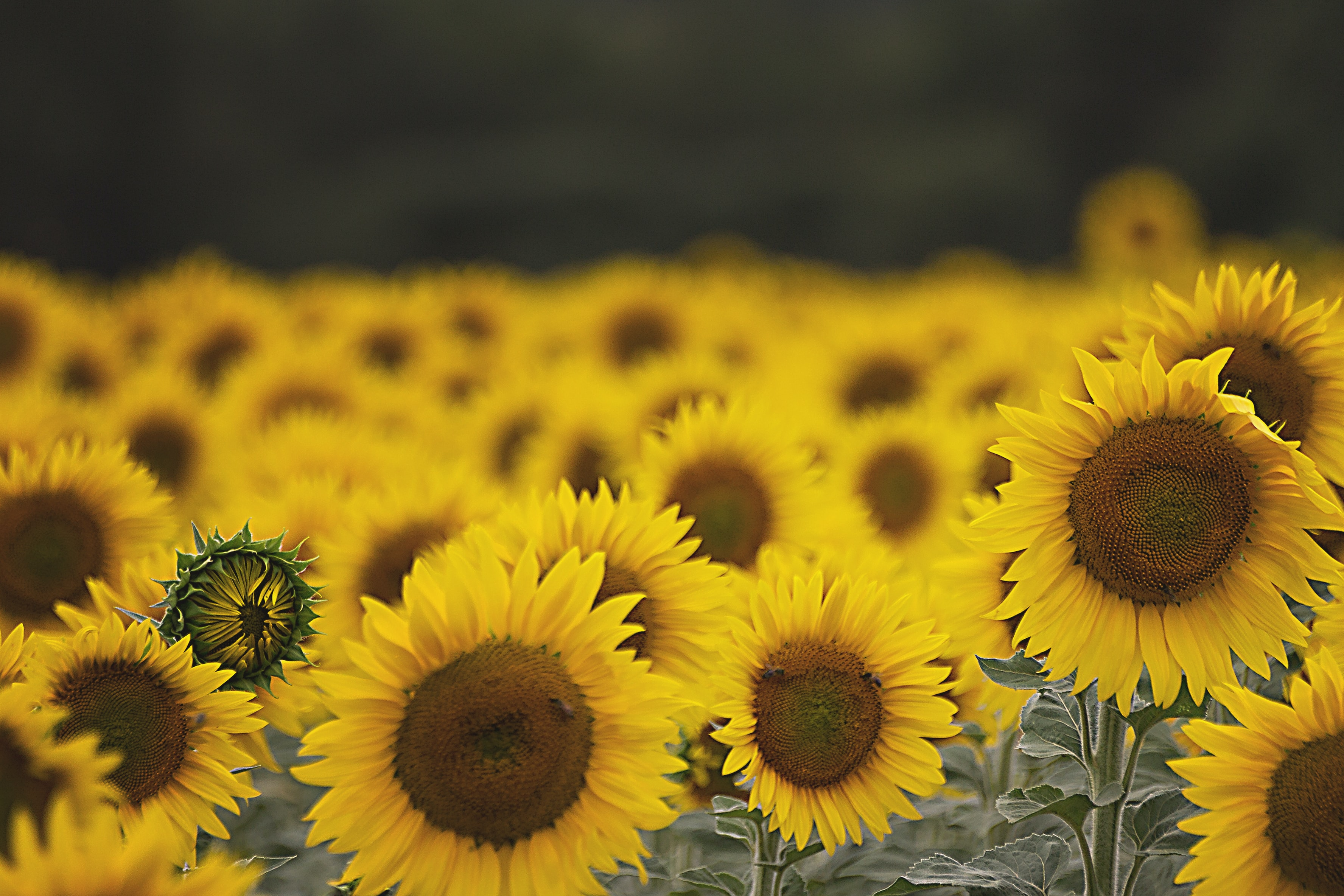 person showing sunflower field