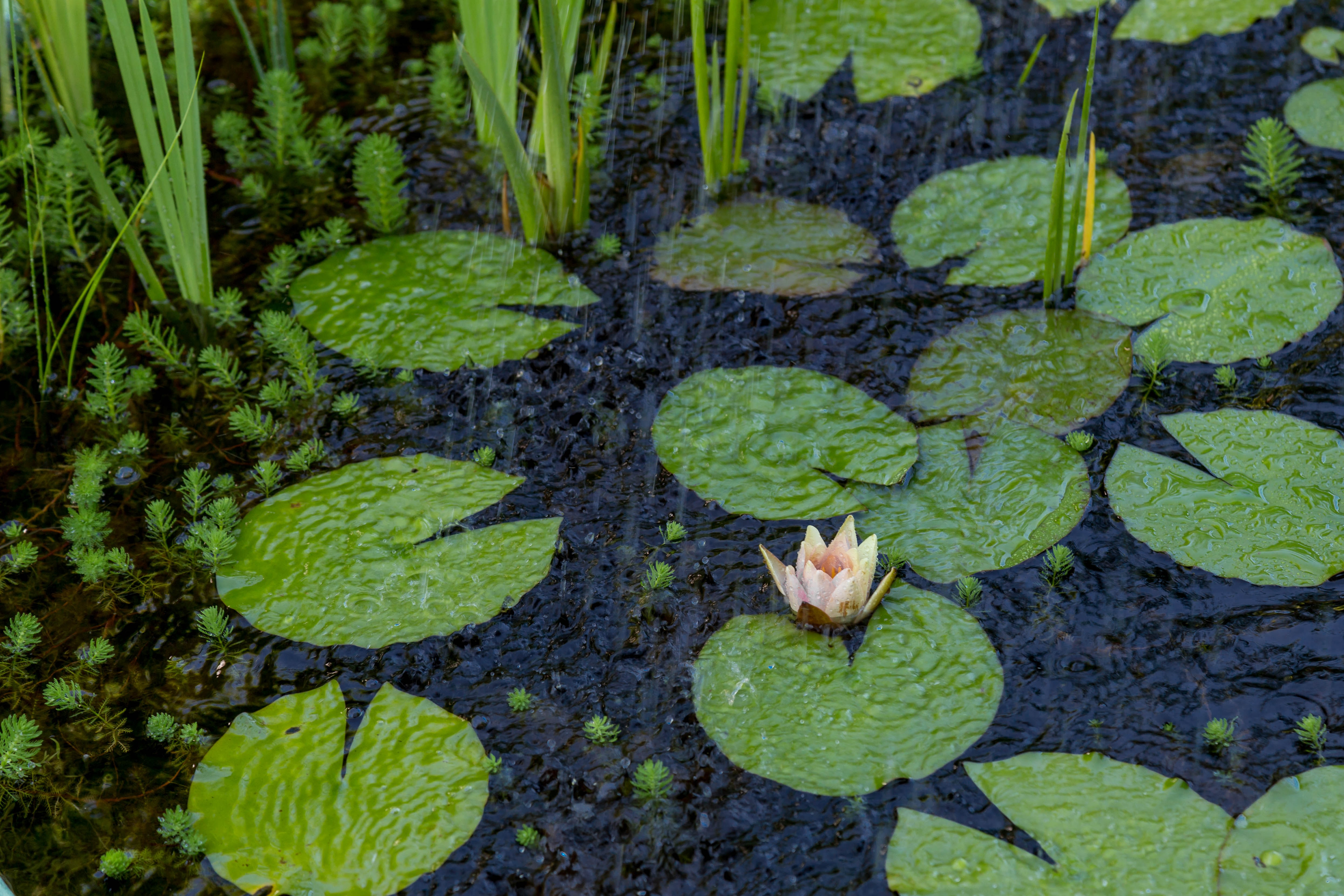 white and orange water lily on water