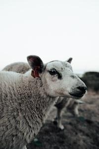 closeup photo of white sheep