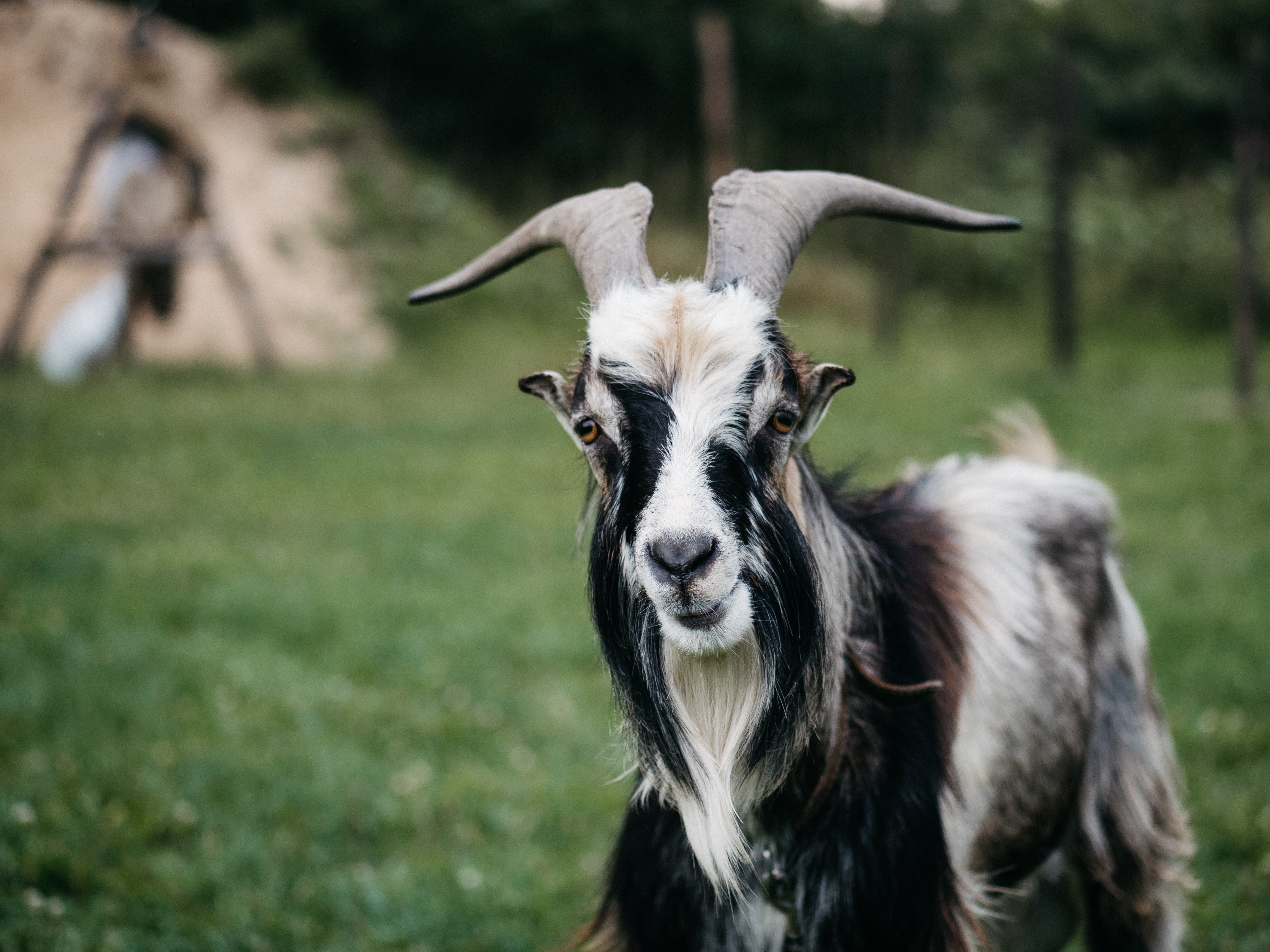 black and white goat on grass field during day