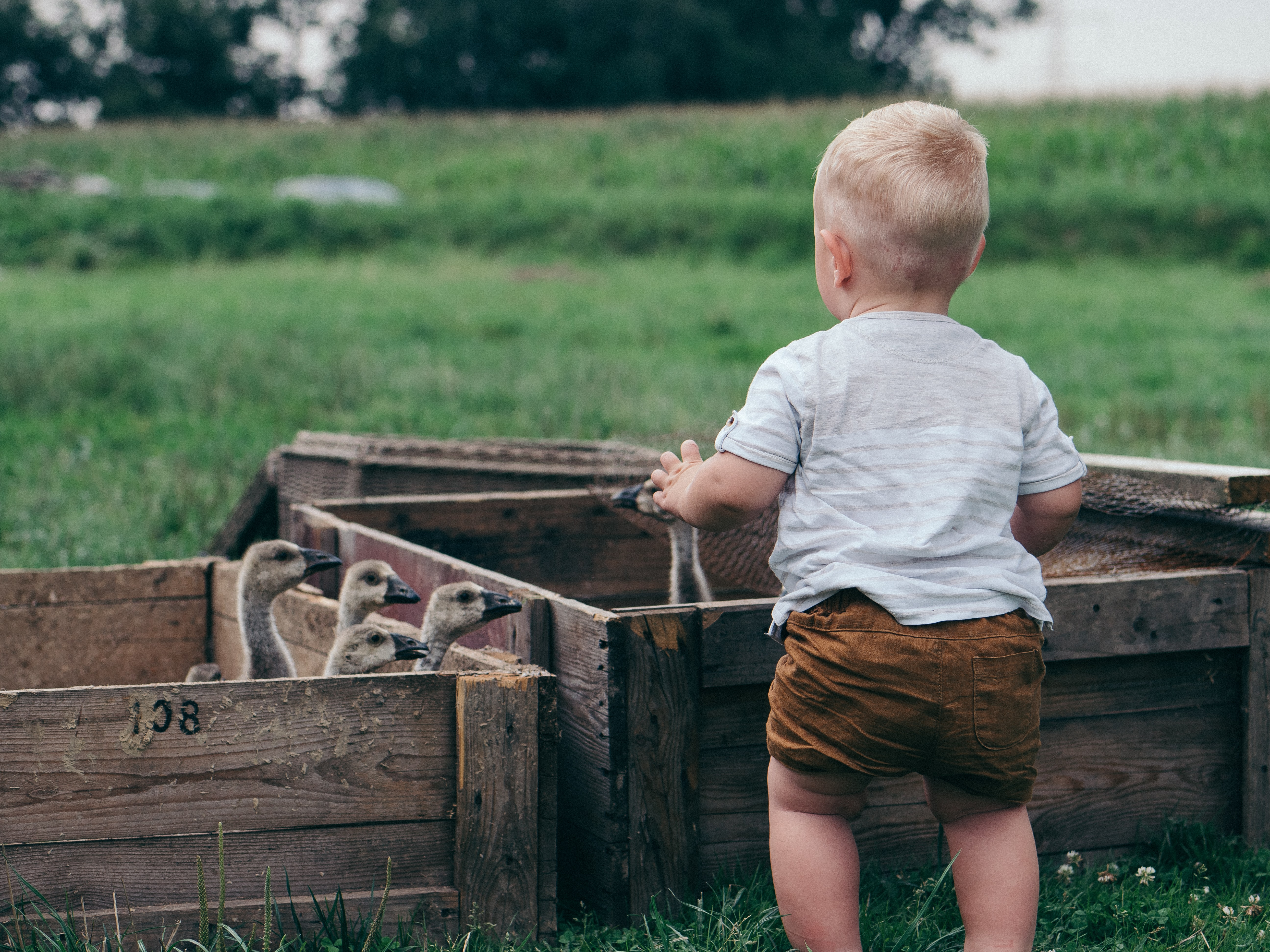 toddler in front of flock of ducklings inside crates