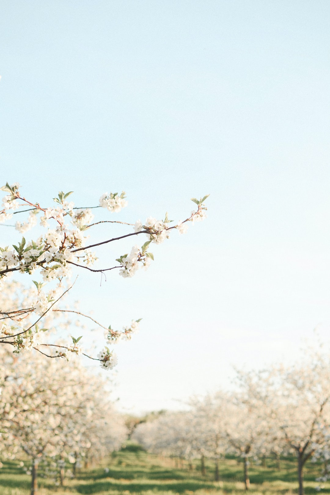 Cherry Blossoms 2018 in Leelanau County MI